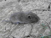Gray mouse — Stock Photo