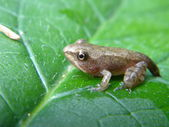 Little European common frog — Stock Photo