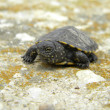 European water turtle baby on cement — Stock Photo