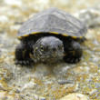 European water turtle baby alone — Stock Photo