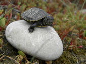 Little European water turtle baby — Stock Photo