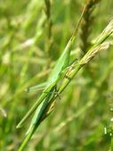 Tráva kobylka — Stock fotografie