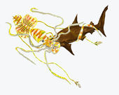 Calamar peleando un tiburón de hummer — Foto de Stock