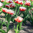 Постер, плакат: Tulips on field
