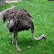 Emu on the grass — Stock Photo