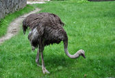 Emu on the grass — Foto Stock