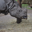 Stock Photo: Large gray rhino
