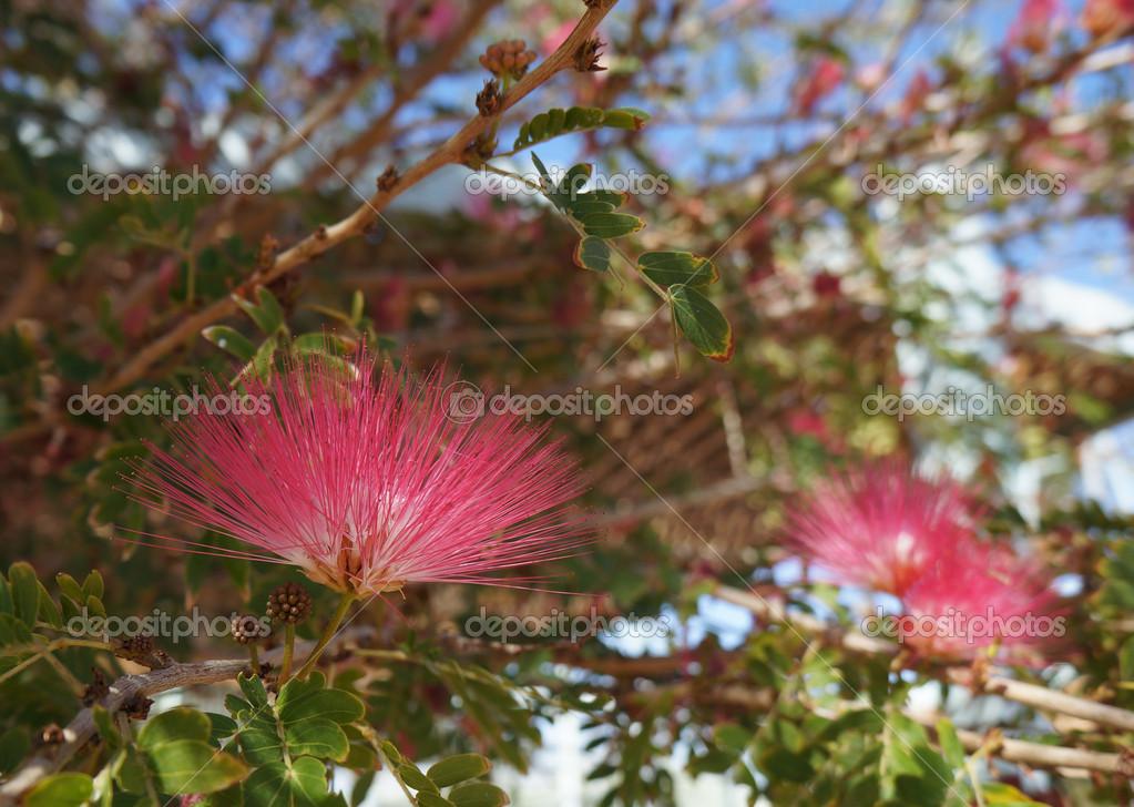 相思树开花