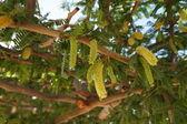 Acacia blossom — 图库照片