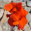 Canna lily blossom — Stock Photo