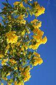 Tecoma stans blossom — Stockfoto