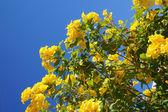 Tecoma stans blossom — Foto de Stock