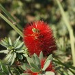 Stock Photo: Callistemon blossom