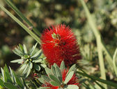 Callistemon blossom — Stock Photo