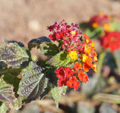 Lantana Camara blossom — Stock Photo