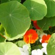 Nasturtium — Stock Photo