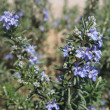 Rosemary blossom — Stock Photo