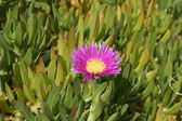 Carpobrotus edulis blossom — Stock Photo