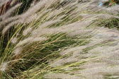 Feather-grass blossom — Stock Photo