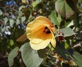 Yellow hibiscus blossom — Stock Photo