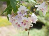 Chitalpa tashkentensis blossom — Stock Photo