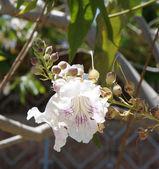 Chitalpa tashkentensis blossom — Zdjęcie stockowe
