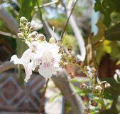Chitalpa tashkentensis blossom — Foto Stock