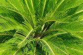 Cycas revoluta plant — Stock Photo
