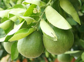 Green unripe grapefruits — Stock Photo
