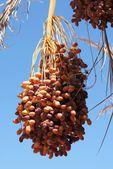 Ripe dates on the palm tree — Stock Photo