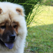 Chow-chow — Stock Photo #28899865