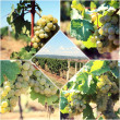 Vineyard postcard — Stock Photo