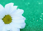 Daisy flower — Foto Stock