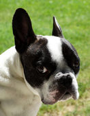 French bulldog, portrait — 图库照片