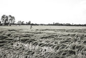 Monochrome After the storm,The picture shows the wind-blown Rice — Stock Photo