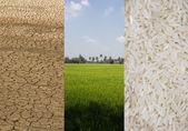 Set Rice fields on aridity — Stock Photo