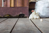 Hen sits on the stock room — Stock Photo