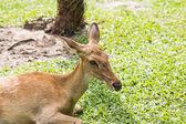 Jelen v zoo — Stock fotografie
