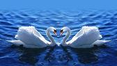 Två svanar i kärlek i sjön. — Stockfoto