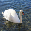 White swan in the lake — Stock Photo
