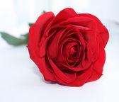 Single red rose on light background. — Stock Photo