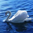 Stock Photo: White swan in the lake