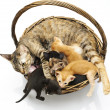 Siamese cat with kittens — Stock Photo #25295851