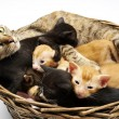 Siamese cat with kittens — Stock Photo #25295949