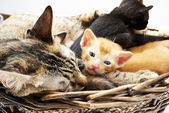Siamese cat with kittens — Stock Photo