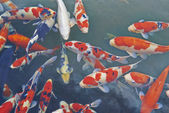 Koi Carps Fish Japanese swimming (Cyprinus carpio) — Stock Photo