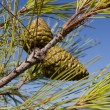 Green pine cones against blue sky — Stock Photo