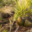 Green pine cones — Stock Photo #34003845