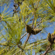 Branches with green pine cones — Stok fotoğraf