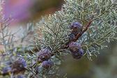 Closeup of a branch of juniper — Stock Photo